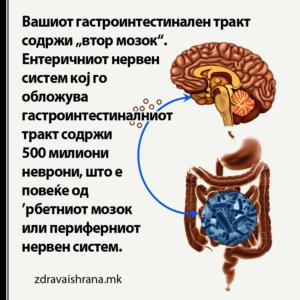 Вашиот гастроинтестиналниот тракт е втор мозок